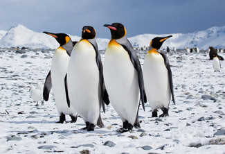 Pinguins Antarctica